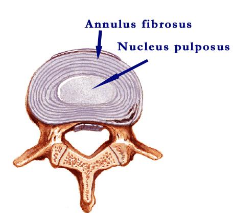 Intervertebral disc anatomy