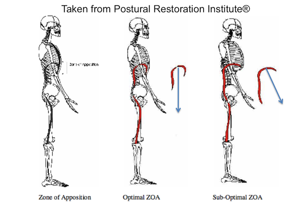 The Zone of Apposition (Photo Courtesy of the Postural Restoration Institute)
