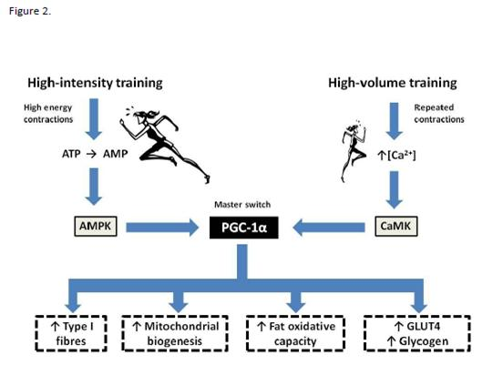 Adaptations Aerobic Training