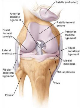 The knee and knee crepitus